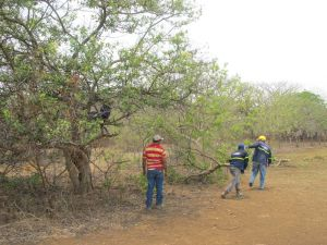 brisas tree clearing